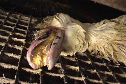 Forced Feed until Death