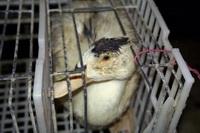 A sad Geese