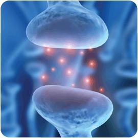 Le cœur a un Cerveau : Les neurones et les neurotransmetteurs