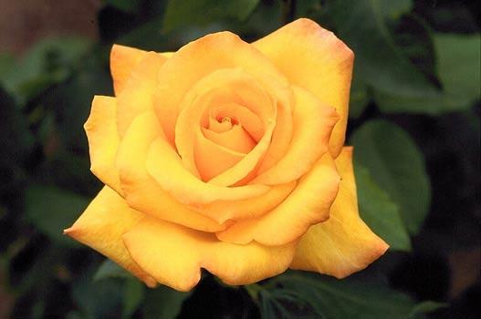 Ruža leči Moralnu bolest